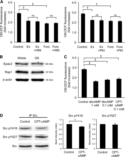 The effects of exendin-4 are dependent not on PKA but on Epac. A: Effects of H-89 or PKI on the decrease in high-glucose–induced ROS production by exendin-4 or forskolin at 60 min in GK islet cells. After preincubation in the presence of 2.8 mmol/l glucose and 10 μmol/l CM-H2DCFDA for 20 min, dispersed islet cells were incubated in the presence of 16.7 mmol/l glucose with or without 100 nmol/l exendin-4 or 10 μmol/l forskolin with or without 10 μmol/l H-89 or 10 μmol/l PKI for 60 min. Fluorescence is represented as fold increases against the value at time zero. Data are expressed as means ± SE (n = 3). †P < 0.01; ‡P < 0.001. B: Expression of Epac2 and Rap1 in Wistar and GK islets. Fresh islets were lysated and subjected to immunoblot analyses. Blots (50 μg of protein) were probed with anti-Epac2 or anti-Rap1. The same blots were stripped and reprobed with anti–β-actin, respectively. Representative blot panels of three independent experiments are shown. C: Effects of cAMP analogs on high-glucose–induced ROS production at 60 min in GK islet cells. Data are expressed as means ± SE (n = 3–4). ‡P < 0.001. D: Epac-specific cAMP analog suppresses Src activity at high glucose in GK islets. After preincubation in the presence of 2.8 mmol/l glucose for 30 min, islets were incubated in the presence of 16.7 mmol/l glucose with or without 0.1 mmol/l 8CPT-2Me-cAMP for 8 min. Islet lysates (∼2 mg of protein) were immunoprecipitated with anti-Src antibody and subjected to immunoblot analyses. Blots were probed with anti–phospho-Src (Tyr416), anti–phospho-Src (Tyr527), or anti-Src by stripping and reprobing of the same blots. Intensities of the bands were quantified with densitometric imager. The bar graphs are expressed relative to control value corrected by Src level (means ± SE). †P < 0.01. Representative blot panels of four independent experiments are shown.