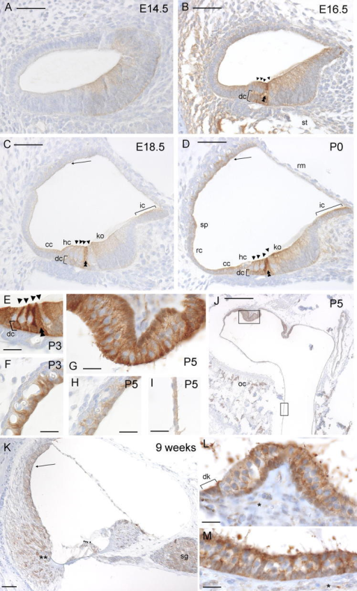 Immunohistochemistry for Paxillin expression in the mouse inner ear. Brown indicates positive staining. (A) Cochlear duct at E14.5, showing discrete staining in non-sensory patches. (B) Cochlear duct at E16.5, showing staining where the scala tympani is opening up and in supporting cells, especially the pillar and Deiters' cells. (C) Cochlear duct at E18.5, showing staining in the pillar cells, interdental cells, Kölliker's organ, cells of Claudius, Deiters' cells, and faintly in the stria vascularis. (D) Cochlear duct at P0, showing staining in the pillar cells, Deiters' cells, interdental cells, Kölliker's organ, spiral prominence, Hensen cells, cells of Claudius, a single layer of the Reissner's membrane, root cells and hair cells. (E) Detail of the hair cells at P3, showing heavy staining in the pillar cells, Deiters' cells, Hensen cells and cells of Claudius. (F) Detail of the stria vascularis at P3, showing heavy staining in the marginal cells. (G) Detail of the crista at P5, showing heavy staining of supporting and hair cells. (H) Detail of the stria vascularis at P5, showing moderate staining in the marginal cells. (I) Detail of the vestibular duct lining at P5, showing moderate staining. (J) One crista and the common crus at P5, showing staining in supporting cells of the crista and cells lining the vestibular duct. Discrete cells in the otic capsule also show heavy staining. (K) Cochlear duct at 9 weeks old, showing staining in root cell processes, stria vascularis and spiral ganglion. (L) Crista at 9 weeks old showing staining in hair and supporting cells, and also the dark cells. There is faint expression in the neural dendrites. (M) Macula at 9 weeks old showing staining in hair and supporting cells, and faint expression in neural dendrites. For images A–D and K, bar indicates 50 μm. For images E–I, L and M, bar indicates 20 μm. For image J, bar indicates 200 μm. Abbreviations: dc, Deiters' cells; ic, interdental cells; ko, Kölliker's organ; sp, spiral prominence; hc, Hensen cells; cc, cells of Claudius; rc, root cells; rm, Reissner's membrane; st, scala tympani; oc, otic capsule; sg, spiral ganglion; dk, dark cells. Stria vascularis is indicated by an arrow, hair cells by arrowheads, pillar cells by double arrowheads, neural dendrites by asterisks and root cell processes by double asterisks.