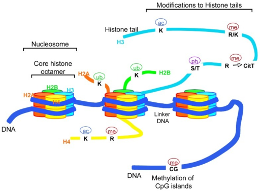 Schematic representation of chromatin structure. Eukary | Open-i