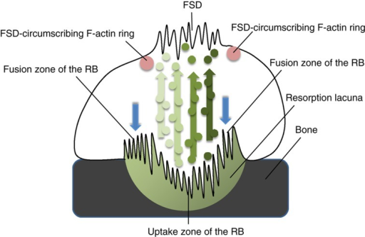 A schematic summarizing the major findings of the current paper. Osteoclast degrades bone by secretion of acid and proteolytic enzymes to the resorption lacuna at the peripheral fusion zone of the ruffled border (blue arrows). Bone degradation products are endocytozed from the resorption lacuna at the central uptake zone of the ruffled border and delivered to the FSD via transcytosis. Multiple types of transcytotic vesicles that are formed initially at the ruffled border level follow their distinct routes to the FSD (green arrows). FSD is circumscribed by a thin actin-based barrier (red circles).