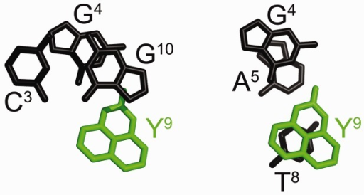 Stacking interactions for the DDD-GY duplex. (a) Stacking of the C3:G10 base pair (black) above the G4:Y9 base pair (green). (b) Stacking of G4 and Y9 (black and green, respectively) above the A5:T8 base pair (black). The dPer ring is in the major groove. The dPer (Y9) base stacks with T8.