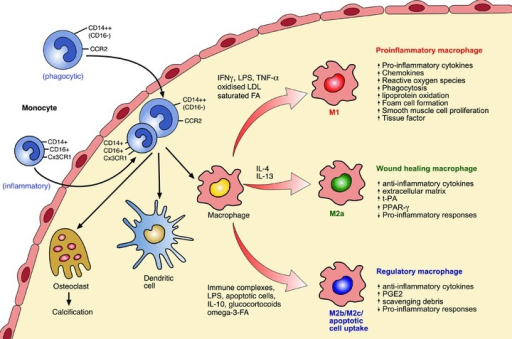 Activation of macrophages in developing and advanced human atherosclerotic plaques. Monocytes (CD14++CD16− or CD16+ subsets) enter the developing atheroma guided by adhesion molecules and chemokines and once infiltrated can differentiate into macrophages, dendritic cells or osteoclasts. Differences in monocyte subsets also exist for mice (see text for details). In response to microenvironmental stimuli, macrophages become activated to develop either atherogenic or atheroprotective functions. The factors controlling entry of the different monocyte subsets into plaque and whether specific monocyte subsets differentiate into distinct functional macrophage subsets requires further investigation. M1 macrophages are microbicidal and involved in host defence. They are pro-inflammatory and cause tissue injury and promote lesion development as well as enhancing plaque vulnerability. M2a macrophages are involved in tissue repair. They are anti-inflammatory and can stabilize vulnerable plaques. M2b (e.g. immune complex/LPS activated) and M2c macrophages, as well as macrophages that take up apoptotic cells in the presence of pro-inflammatory stimuli, are immunoregulatory and anti-inflammatory and stabilize or even regress atherosclerotic plaques, see text for further details. Abbreviations: IFN-γ, interferon-γ; LPS, lipopolysaccharide; LDL, low-density lipoprotein; FA fatty acid; t-PA, tissue plasminogen activator; PPAR-γ, peroxisome proliferator activated receptor-gamma; PGE2, prostaglandin-2.