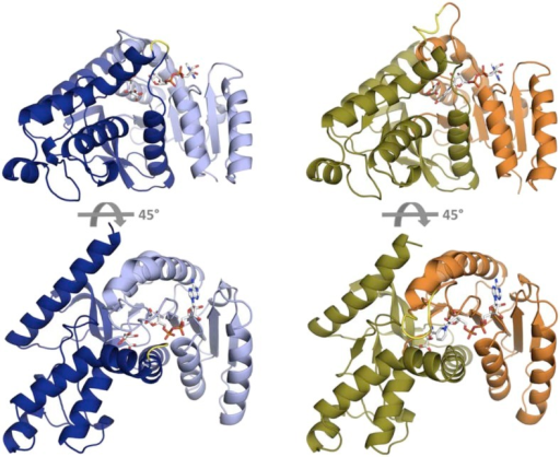 Fold architecture in the LDH and MDH superfamily.At left is CpMDH (blue, 2hjr), at right is PfLDH (vermilion and olive, 1t2d). The Rossmann fold domain, which binds the NADH cofactor, is show as light blue in CpMDH and vermilion in PfLDH. The active site is found at the interface of the two domains. In CpMDH, the 'opposing loop' is highlighted in yellow (see text). In PfLDH, the six-residue insertion is highlighted in yellow.DOI:http://dx.doi.org/10.7554/eLife.02304.004