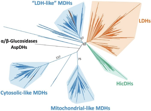 Phylogeny of M/LDH superfamily.Same phylogeny as Figure 3A with select branch supports shown (aLRT supports).DOI:http://dx.doi.org/10.7554/eLife.02304.011