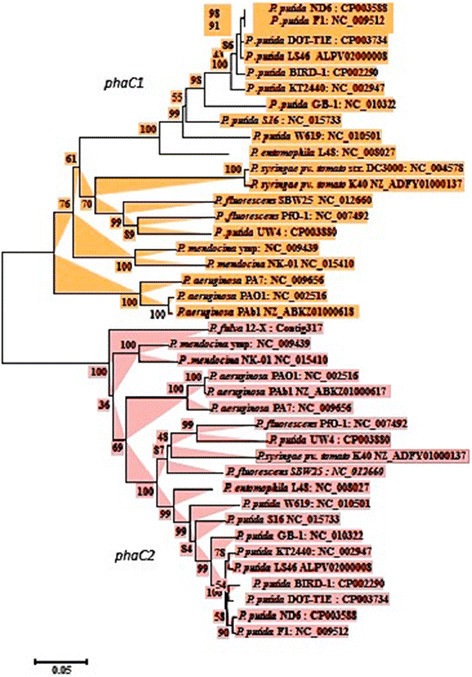 Phylogenetic tree depicting the relationship ofphaC1andphaC2genes amongPseudomonasspecies. The phaC gene sequences were aligned by ClustalW and a neighbor-joining tree was generated using MEGA5 program. Bootstrap values are mentioned at the node.