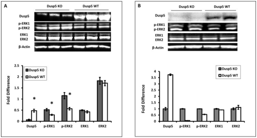 Comparison of the expression and activity of Dusp5 in WBCs isolated from Dusp5 ZFN KO versus FHH.1BN rats.Panel A: The expression of Dusp5 protein in WBCs is nearly absent in Dusp5 KO versus FHH.1BN rats. The levels of phosphorylated-ERK1/2 protein are significantly increased in Dusp5 KO compared to FHH.1BN rats, but there is no change in the expression of total ERK or beta-Actin. Panel B presents the results of the expression of Dusp5, p-ERK1/2, total ERK1/2 and β-Actin protein from duplicate aliquots of a single pooled microvessel sample isolated from 8–10 Dusp5 KO and FHH.1BN rats. The upper panel presents a representative image of the gels and the lower panel presents the quantitation of the images above. Mean values ± SE from 3 rats per strain are presented in Panel A. * indicates a significant difference from the corresponding value in Dusp5 KO rats.