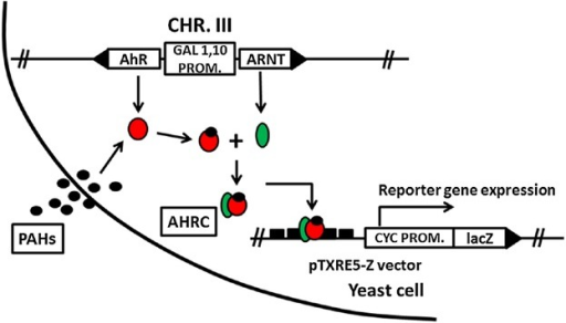 Schematic Diagram Of Yeast Bioassay Circles Represent Open I