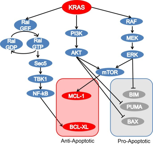 Effector proteins of Kirsten rat-sarcoma (KRAS) and apoptosis. The BCL-2 family of proteins regulates mitochondrial-driven apoptosis in KRAS mutant cancers. The BCL-2 family consists of three subfamilies: the pro-survival members such as BCL-2 or MCL1, the pro-apoptotic BCL-2 homology domain 3 (BH3)-only proteins such as BIM and PUMA, and the pro-apoptotic BAX and BCL-2 antagonist/killer (BAK; not shown in this figure). The anti-apoptotic function of oncogenic KRAS is mediated by several effector pathways that converge on the BCL-2 family of proteins. The PI3K effector pathway suppresses pro-apoptotic protein PUMA and BAX, the RAS–RAF pathway downregulates the pro-apoptotic protein BIM, and the mTORC1 pathway regulates MCL-1. In addition, the Ral-NF-κB pathway has been implicated in the regulation of BCL-XL. Thus, KRAS suppresses cell death responses through regulation of both pro-apoptotic and anti-apoptotic BCL-2 family proteins.