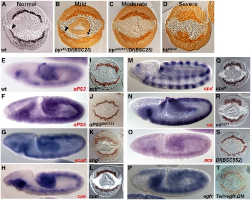 Endogenous expression and mutant phenotypes of adhesion molecules and signaling components isolated from the screen. Cross-sectioned embryos are of stage 9–10 when mesoderm cells are at the end of their migration. (A–D) A comparison of wild-type with mild, moderate, and severe mesoderm spreading phenotypes. (A) Wild-type embryos have a monolayer of mesoderm cells. The arrowhead marks where the mesoderm cells have reached the dorsal region of the embryo, where cells receive additional differentiation signals. (B) pyr18/Df BSC25 trans-heterozygous mutant embryos have a mild phenotype marked by regions where mesoderm cells are multilayered (arrow). However, some cells intercalate into a single layer (arrowhead). (C) pyre02915/Df BSC25 embryos have a moderate phenotype where the mesoderm is uniformly multilayered. Df BSC25 is a deficiency that encompasses both Pyr and Ths, FGF ligands for the FGFR Htl. (D) htlAB42 mutants have severe defects such that the mesoderm forms lumps of cells. (E–T) Preliminary expression and mutant analysis of genes isolated in the screen. RNA expression patterns in wild-type embryos of stage 8–9 (lateral views: E–H, M–P) and cross-section of zygotic mutant embryos showing α-Twi expression to mark mesoderm (cross-sections: I–L, Q–T). Single mutants were assayed if available (I, J, K, L, Q, R) for genes isolated from the ectopic expression screen; otherwise, data for deficiencies are shown (aos: S). For assay of egfr, the dominant negative (DN) form of egfr was overexpressed using the Twi-Gal4 driver (T). In situ hybridization was performed using riboprobes specified for the indicated genes. Genes in red denote those isolated from this screen.