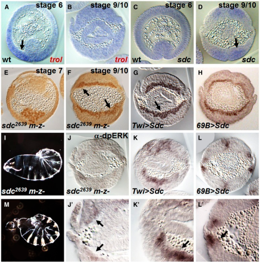"sdc mutant embryos exhibit mild defects in mesoderm migration. (A–D) In situ hybridization of (A, B) trol and (C, D) sdc in wild-type embryos. At stage 6, trol is upregulated in the ventral-most ectoderm cells surrounding the invaginated furrow (A, arrow). In contrast, sdc is localized to the same position but at a later stage, when mesoderm cells intercalate to form a monolayer (D, arrow). (E) sdc germline clones have normal mesoderm collapse (i.e., symmetrical). (F) sdc germline clones have mild spreading defects as mesoderm cells form a nonmonolayer (arrows). (G) Ectopically expressing sdc in the mesoderm results in a multilayered mesoderm (arrow). (H) Overexpressing sdc in the ectoderm has little effect as mesoderm spreading appears normal (i.e., monolayer). (I, M) sdc germline clones exhibit a range of cuticular phenotypes that range from ""tail-up"" to twisted/loss-of-head. (J, K) The α-dpERK staining is detected in cross-sections of embryos from sdc germline clones within dorsal-most mesoderm cells (J; magnified view: J′, arrows), possibly at a reduced level compared with wild-type (see Figure 4J). Ectopic expression of sdc within the mesoderm results in ectopic dpERK throughout the tissue (K; K′, arrow), whereas overexpression of Sdc in the ectoderm has little effect (L; L′, arrow)."