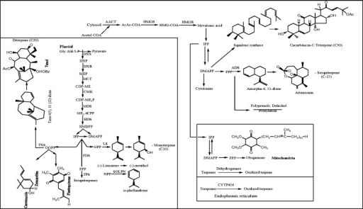 Schematic overview of monoterpenoid, sesquiterpenoid, diterpenoid and triterpenoid biosynthetic pathways. AACT acetoacetyl-CoA thiolase, AcAc-CoA acetoacetyl-CoA, HMGS HMG-CoA synthase, HMG-CoA 3-hydroxy-3-methylglutaryl, HMGR HMG-CoA-reductase, IPP isopentenyl diphosphate, DMAPP dimethylallyl diphosphate, FPP farnesyl pyrophosphate, ADS amorpha-4,11-diene synthase, CYT450 cytochrome P450 hydroxylase, GlyAld-3P glyceraldehyde-3-phosphate, DXP deoxyxylulose-5-phosphate, DXS DXP synthase, MEP methylerythritol-4-phosphate, DXR DXP reductoisomerase, CDP-OME 4-(cytidine-5′-diphospho)-2-C-methyl-d-erythritol, MCT 2-C-methyl-d-erythritol-4-phosphate-cytidylyl transferase, CDP-ME2P 4-(cytidine-5′-diphospho)-2-C-methyl-d-erythritol phosphate, CMK CDP-ME Kinase, ME2, 4cPP 2-C-methyl-d-erythritol, 2,4-cyclodiphosphate, MDS 2-C-methyl-d-erythritol-2,4-cyclodiphosphate synthase, HMBPP (E)-4-hydroxy-3-methylbut-2-enyl diphosphate, HDS (E)-4-hydroxy-3-methylbut-2-enyl diphosphate synthase, GPP geranyl diphosphate, LS limonene synthase, NPP neryl diphosphate, SOLPN α-phellandrene synthase, FDS farnesyl diphosphate synthase. Similarly chemical structures of (−)-methanol, α-phellandrene; taxol, artemisinin and cucurbitacin C are shown as representative examples of terpenoids