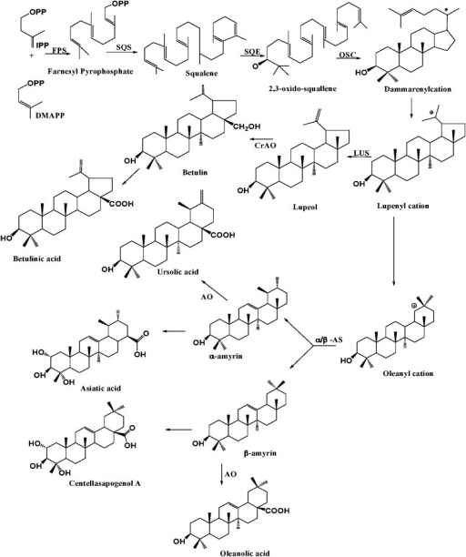 Schematic overview of triterpenoid biosynthesis. Farnesyl diphosphate synthase (FPS) isomerizes isopentenyl diphosphate and dimethylallyl diphosphate (DMAPP) to farnesyl diphosphate, while squalene synthase converts to squalene. Squalene epoxide oxidizes the squalene to 2,3-oxidosqualene. Oxidosqualene cyclase (OSC) catalyzes 2,3-oxidosqualene through cationic intermediates to one or more cyclic triterpene skeletons. The other enzymes involved in the biosynthesis include α/β amyrin synthase (α/β AS) which can also form the lupenyl cation but further ring expansion and rearrangements are required before the deprotonation to α/β amyrin, the precursors of sapogenins. α-Amyrin oxidase involved in biosynthesis of ursolic acid and oleanolic acid