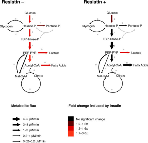 Metabolic fluxes in L6E9 myotubes not treated and treated with resistin and/or insulin. L6E9 myotubes were treated (resistin+) or not treated (resistin–) with 100 nM resistin for 8 h and then incubated for 6 h with 10 mM glucose, 50%-enriched in [1,2-13C2]-D-glucose in the absence or in the presence of 100 nM insulin. Fluxes were estimated using the software Isodyn. Arrow sizes indicate net fluxes in L6E9 myotubes not treated or treated with resistin that were incubated in the absence of insulin. Colours indicate flux fold-changes in response to insulin. Fluxes plotted are the median values from the 20 best flux sets (Table 3). Grey-coloured fluxes have not been measured. FBP, fructose-1,6-bisphosphate; Hexose-P, glucose-6-phosphate and its isomers; Mal, malate; OAA, oxaloacetate; Pentose-P, ribose-5-phosphate and its isomers; PEP, phosphoenolpyruvate; PYR, pyruvate; Triose-P, glyceraldehyde-3-phosphate and dihydroxyacetone phosphate.