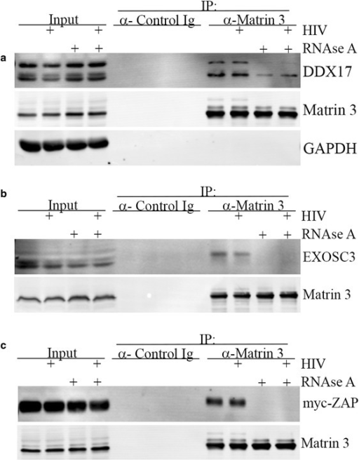 Matrin 3 interacts with components of the ZAP degradation machinery. a Matrin 3 interacts with DDX17. 293TrexhZAP2 cells were infected with HIV-luc (+) or mock infected (−) followed by doxycycline treatment at 200 ng/ml. Cells were then lysed in the presence (+) or absence (−) of RNAse A (50 µg/ml). Lysates were subjected to immunoprecipitation for endogenous Matrin 3 using rabbit α- Matrin 3 or α- control Ig. DDX17, GAPDH, b EXOSC3, or c myc-ZAP2 were detected with antibodies indicated.