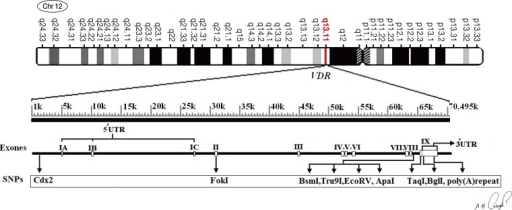 Genomic structure of the vitamin D receptor (VDR) gene on chromosome 12q13, and locations of single nucleotide polymorphisms (SNPs)on VDR gene. The VDR chromosomal gene containing a total of 11 exon. VDR poly(A) variant is located in 3'-untranslated region.