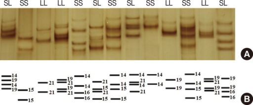 Single-strand conformation polymorphism (SSCP) results of the polymerase chain reaction (PCR) product in denaturing polyacrylamide gel electrophoresis, visualized by silver nitrate staining: (A) PCR products of the SS genotype with ~236-238 bp and LL genotype with ~241-243 bp in SSCP gel; (B) Schematic of the adenine numeric repeat shown by number in single strand oligonucleotide bands or different alleles.