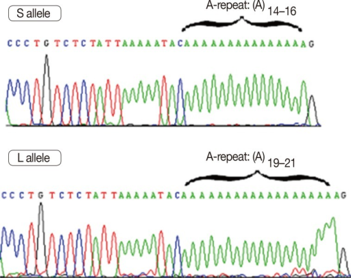 Deoxyribonucleic acid electropherogram analysis of poly(A) repeat polymorphism in the 3'-untranslated region of vitamin D receptor gene regions: S and L alleles with poly(A)-microsatellite A-repeats 14-16 and 19-21, respectively.