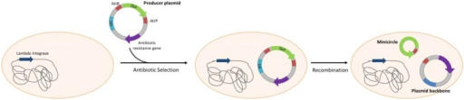 Minicircle production. The producer plasmid is selected using an antibiotic resistance gene. Cleavage and recombination leads to the formation of circular plasmid backbones and minicircles. Minicircles do not contain any antibiotic resistance gene. Strategies of in vivo degradation of plasmid backbone are developed to facilitate minicircle purification.