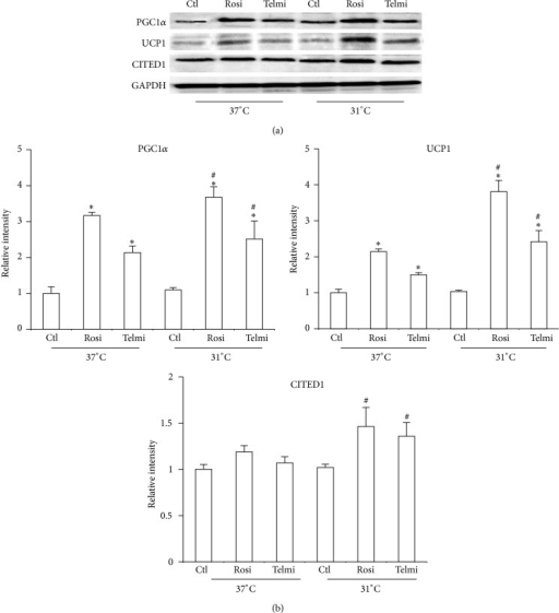 Effect of cold and full and partial agonists in the adipocyte phenotype. (a) Differentiated adipocytes were obtained and treated as described in Figure 1; total protein was isolated for detecting expression of PGC1α, UCP1, and CITED1 using western blot. (b) Relative intensity levels were determined by densitometry of bands. Analyses were performed using ANOVA test. Data are expressed as mean ± SD and differences were considered P < 0.05. ∗Differences between total and partial agonist in relation to control. # indicates meaningful differences observed after 4 hours of treatment with agonists after exposure to cold in comparison with adipocytes treated in equal conditions at 37°C. Data were normalized with GAPDH.