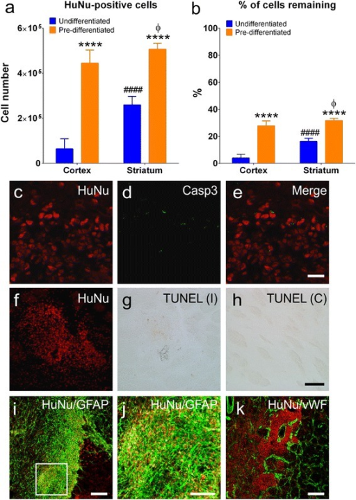 Transplanted cells survive within the stroke affected brain. Total number (a) and percentage (b) of HuNu-positive cells remaining within cortical and striatal grafts from undifferentiated (n = 7) and predifferentiated (n = 7) treatment groups. Data presented as mean ± SEM. ****P <0.0001 relative to undifferentiated treated animals in the same region; ####P <0.0001 relative to undifferentiated grafts within the cortex; ϕP <0.05 relative to predifferentiated grafts within the striatum (two-way ANOVA followed by Bonferroni post test). Transplanted cells immunopositive for HuNu (red) (c, f) did not express apoptotic markers including Casp3 (green) (d), merged image (e), or TUNEL (g), with the level of TUNEL staining similar to the contralateral mirror image (h). Transplanted HuNu-positive (red) predifferentiated cells were associated with vWF-stained blood vessels (green) within infarcted brain regions (i). Many HuNu-positive undifferentiated hNSCs (red) were found within border regions consisting of GFAP-positive astrocytes (green) (j). Magnified immunofluorescent image (k) corresponds to box highlighted in (j) illustrating incorporation of undifferentiated hNSCs into the glial scar bordering the infarct. Scale bar: (c–e) 20 μm, (f–h) 100 μm, (i, k) 200 μm, (j) 100 μm. C contralateral hemisphere, Casp3 cleaved caspase-3, GFAP glial fibrillary acidic protein, HuNu human specific nuclear antigen, I ipsilateral hemisphere, TUNEL terminal transferase-mediated dUTP nick end-labeling, vWF von Willebrand factor