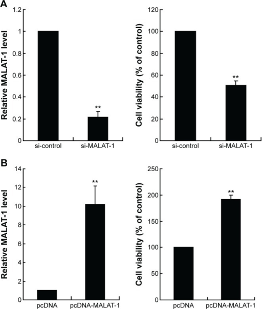 The effect of MALAT-1 on the proliferation of chondrosarcoma cells.Notes: (A) The mRNA level of MALAT-1 and cell viability in JJ012 cells with MALAT-1 knockdown. (B) The mRNA level of MALAT-1 and cell viability in CH2879 cells with MALAT-1 overexpression. Each value represents the mean ± SD of triplicate wells. **P<0.01, vs control.Abbreviations: MALAT-1, metastasis-associated lung adenocarcinoma transcript 1; SD, standard deviation.