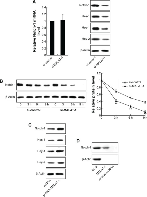 The effect of MALAT-1 on the expression of Notch-1 in chondrosarcoma cells.Notes: (A) The expression of Notch-1 signaling pathway in JJ012 cells treated with si-MALAT-1. (B) The effect of si-MALAT-1 on the degradation of Notch-1 induced by cycloheximide. (C) The expression of Notch-1 signaling pathway in CH2879 cells treated with pcDNA-MALAT-1. (D) RNA pull-down assay was performed to test the binding of MALAT-1 and Notch-1. Each value represents the mean ± SD of triplicate wells. **P<0.01, vs control.Abbreviations: MALAT-1, metastasis-associated lung adenocarcinoma transcript 1; SD, standard deviation; h, hours.