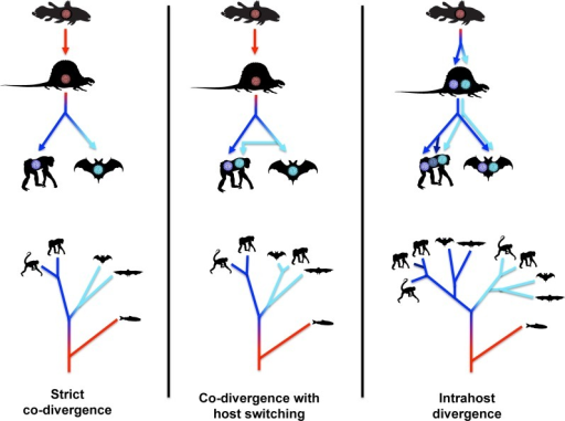 Standard virus/host co-divergence models.The top panels depict the evolution of polyomaviruses within animal lineages. Idealized cartoon trees in the bottom panels represent the expected polyomavirus phylogeny. The silhouettes in the bottom panels represent the animal type in which the polyomavirus at the branch tip would be found.