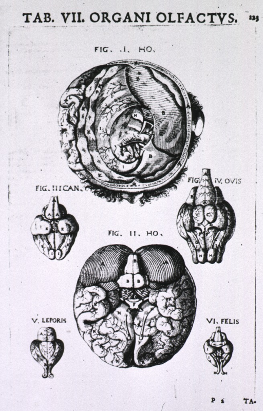 <p>Several figures showing the top and bottom of the brain and that portion of the brain associated with the sense of smell.</p>