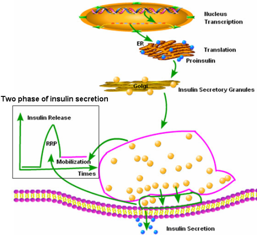 Insulin Synthesis And Secretion Process. After Preproin