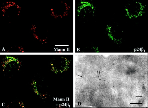 Immunolocalization of p24 proteins in cells and vesicles. (A–C) Subcellular localization of p24β1 (b, green) as determined by indirect immunofluorescence localization. For comparison, labeling of Mann II (red) is shown in A. The extent of overlap is shown in C. (D) Thin frozen sections of NRK cells were labeled with antibodies to p24β1 (10 nm gold). Gold particles were found at one side of the Golgi stack, codistributing with antibodies to p24γ3 (5 nm gold, arrows). (E and F) Vesicles bound to grids were labeled with antibodies against two different p24s and revealed by protein A gold conjugates. The majority of the labeled vesicles contained both p24 proteins of each combination. (G) Quantification of p24 proteins in pair-wise labeling experiments. Different antibodies and protein A gold sizes (pAG) were used. Vesicles labeled with only one type of gold particle (two or more of the same gold particle) are expressed as the percentage of single labeled (SL), and vesicles containing both types of gold particle (two or more different gold particles) are expressed as double labeled (DL).