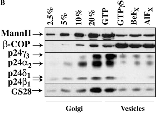 A requirement for GTP hydrolysis by Arf-1. (A) Vesicles were formed in the presence of GTP, GTPγS, or Arf-1Q71L. (B) Vesicles were formed in the presence of GTP, GTPγS, BeFx, or AlFx. Proteins from solubilized membranes or vesicles were separated by SDS-PAGE and subjected to Western blot analysis using specific primary antibodies to Mann II, β-COP, p24γ3, p24α2, p24δ1, GS28, p24β1, and the KDR followed by ECL.