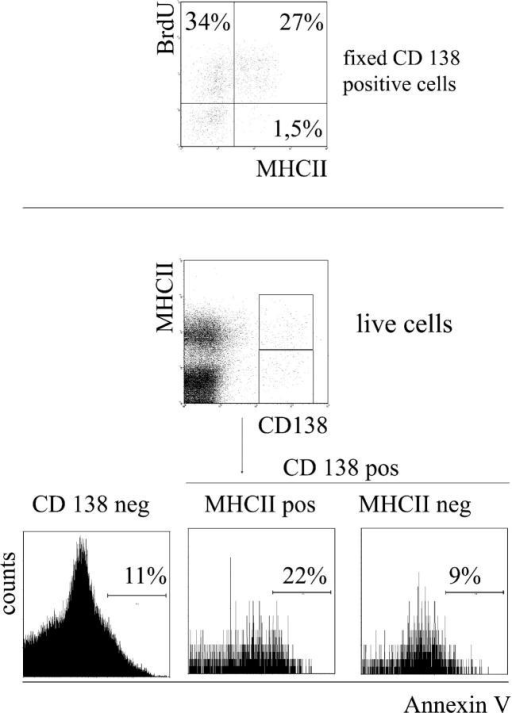Increased binding of early MHCII-positive plasma cells to annexin V. Fixed cells from mice fed with BrdU for 2 wk were stained for CD138, BrdU, and MHCII. Result is shown on cells gated for CD138 expression (top). Frequencies of BrdU-positive, MHCII-negative CD138-positive cells were 32.5 ± 9% (n = 5). Living early plasma cells were distinguished from mature plasma cells by MHCII expression (below) and were stained for annexin V. Dead cells and debris were excluded according to propidium iodide staining and forward scatter profile. Histogram plots were additionally gated on CD138-negative, CD138-positive/MHCII-negative or CD138-positive/MHCII-positive cells.