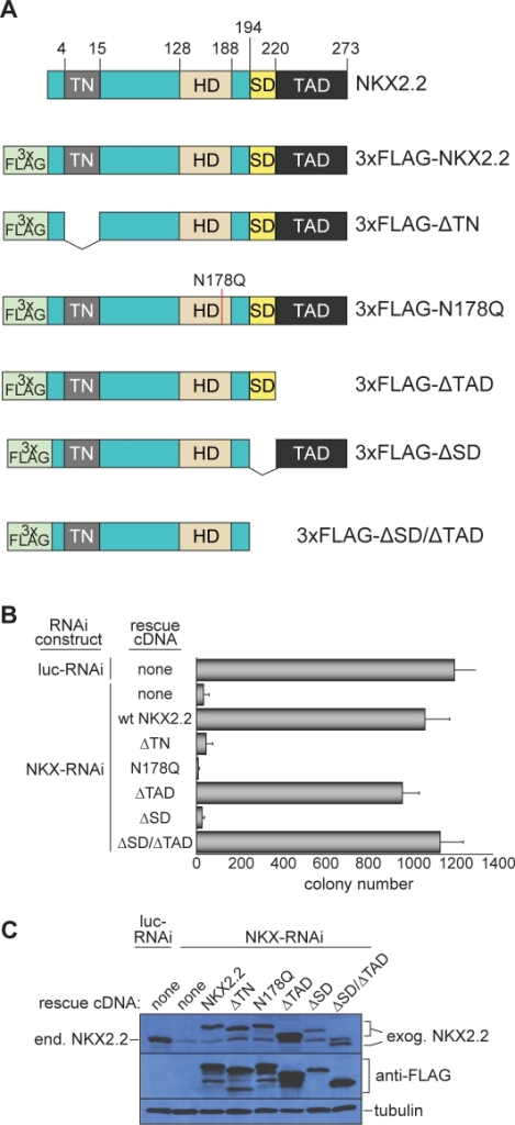 Transcriptional repression and DNA binding domains are required for NKX2.2-mediated Ewing's sarcoma cell oncogenic transformation.(A) Schematic of wild type and 3x-FLAG tagged NKX2.2 constructs. The positions of the transcriptional repressor domain (TN), the homeodomain (HD), the NK2-specific domain (SD), and the transcriptional activation domain (TAD) are shown. (B) Soft agar colony formation of A673 cells infected with the indicated RNAi and cDNA constructs. Error bars indicate standard deviations of duplicate assays. (C) Western blot analysis of A673 cells infected with the indicated RNAi and cDNA constructs, using anti-NKX2.2 antibody (to determine the expression of endogenous NKX2.2 following knockdown using the NKX-RNAi construct), anti-FLAG (to assess the expression of cDNA constructs), or anti-tubulin (as a loading control). The positions of endogenous NKX2.2 (end. NKX2.2) and of the exogenous NKX2.2 constructs (exog. NKX2.2) are indicated.