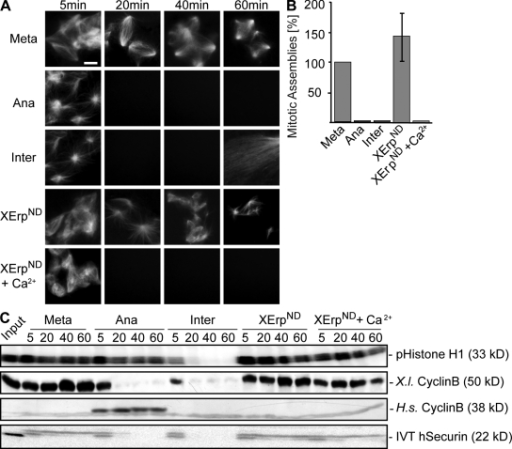 APC/C activation is not required for changes in microtubule stability. (A) CSF extracts containing Cy3-tubulin and in vitro translated exogenously added securin were preincubated for 10 min in the presence of Ran-GTP to preassemble microtubules. Reactions were treated with buffer (Meta), calcium and cyclinBΔ90 (Ana), calcium (Inter), XErpND, or calcium and XErpND (XErpND + Ca2+). Microtubule structures were visualized by direct fluorescence of Cy3-tubulin. (B) Quantification of microtubule assemblies counted at the 40-min time point imaged in A. Error bars represent SD from three independent experiments; metaphase was set to 100%. (C) Amounts of cyclin B (endogenous, X.l. cyclin B; exogenously added [Δ90], H.s. cyclin B) were determined by immunoblotting, and amounts of exogenously added in vitro translated (IVT) securin were determined by autoradiography; Cdk1 activities were measured by histone H1 phosphorylation (pHistone H1). Meta, metaphase; Ana, anaphase; Inter, interphase. Bar, 5 μm.