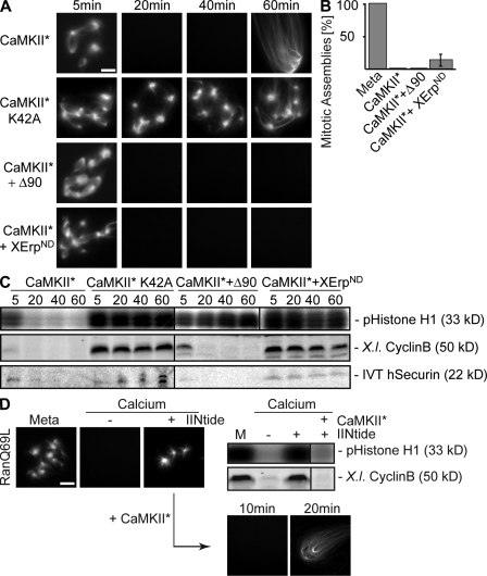 CaMKII induces microtubule instability in anaphase. CSF extracts containing Cy3-tubulin and in vitro translated securin were preincubated for 10 min in the presence of RanQ69L to preassemble microtubules. (A) Reactions were treated with constitutively active CaMKII (CaMKII*), the catalytically inactive mutant (CaMKII*K42A), or CaMKII* together with cyclinBΔ90 (CaMKII* + Δ90) or XErpND (CamKII* + XErpND) as indicated. Microtubule assemblies were visualized by direct fluorescence. (B) Quantification of microtubule assemblies counted in A after 40 min. Error bars represent SD from three independent experiments; metaphase was set to 100%. (C) Reactions were performed as in A; the amounts of endogenous cyclin B (X.l. cyclin B) were determined by immunoblotting, and the amounts of exogenously added in vitro translated (IVT) securin were determined by autoradiography; Cdk1 activities were measured by histone H1 phosphorylation (pHistone H1). (D) Inhibition of endogenous CaMKII activity; CSF extracts containing Cy3-tubulin and RanQ69L were left untreated (Meta) or incubated with calcium in the absence (−) or presence (+) of the CaMKII inhibitor IINtide. (left) Microtubule structures were visualized by direct fluorescence of Cy3-tubulin. (right) Cyclin B (X.l. cyclin B) and Cdk1 activity (pHistone H1) were determined. (D, bottom) Reactions were chased using CaMKII* for the indicated time points and were visualized. Bars, 5 μm.