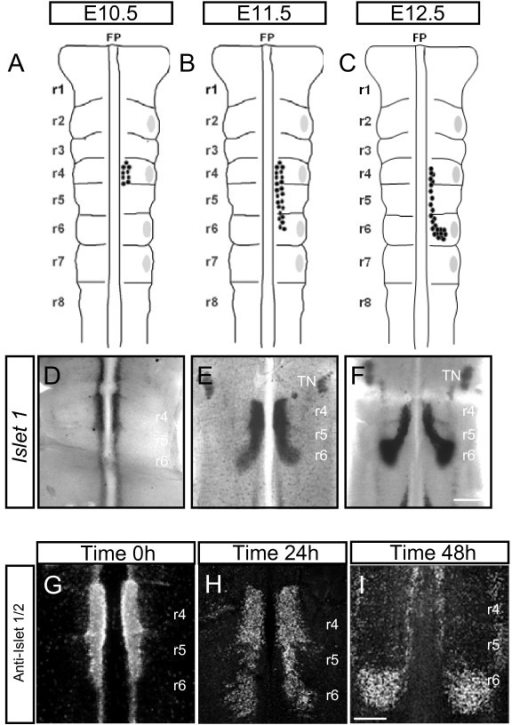 Spatiotemporal pattern of facial branchiomotor (FBM) neuronal migration in vivo and in explants. (A-C) Schematic representations of mouse embryonic hindbrain at embryonic stages (E)10.5 (A), E11.5 (B) and E12.5 (C). FBM neurons are shown by black dots and migrate from rhombomere (r)4 (E10.5) to r6 (E12.5). Grey patches represent dorsal exit points of motor axons. (D-F) Islet-1 in situ hybridisation on flatmounted hindbrains showing FBM neurons migrating from r4 to r6 at E10.5 (D), E11.5 (E) and E12.5 (F). (G-I) Hindbrain explants cultured on filters and immunostained with anti-Islet 1/2 antibody. Time 0 h (G) represents the beginning of culture period when some FBM neurons have started to migrate into r5. Time 24 h (H) shows that more FBM neurons are present in r5 and that some have started to turn dorsally into r6. Time 48 h (I) shows FBM neurons that have reached their final destination in r6 to form a nucleus. TN, trigeminal motor nucleus. Scale bars: 500 μm in (D-F); 250 μm in (G-I).