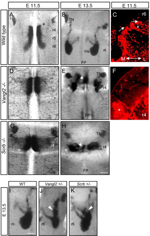 Analysis of Vangl2 and Scribble mutant phenotypes. (A, B, D, E, G, H, I-K) In situ hybridization with Islet-1 probe on flat-mount hindbrains showing facial branchiomotor (FBM) migration in wild-type embryos, and Vangl2 and Scribble heterozygotes and homozygotes. Embryonic stages (E) and probes are as indicated. Both homozygote mutants present a very dramatic failure of FBM migration (asterisks in (D, E, G, H)) with a population of motor neurons in the floor plate (FP, arrowheads). (J, K) In heterozygous Vangl2 and Scribble (Scrb) littermates at E13.5, a stream of cells arrest in the dorsal region of rhombomere (r)5 (arrowheads) compared to wild type (WT) (C, F) Transverse sections through the hindbrains of wild-type (C) and Vangl2-/- (F) hindbrains, immunostained with anti-Islet1/2 antibody to show FBM neurons migrating laterally in r6 (C) to form the FBM nucleus (asterisk) or remaining in r4 (asterisk in F). (I). Scale bars: 250 μm in (A, B, D, E, G, H); 100 μm in (C, F); 125 μm in (I-K). TN, trigeminal motor nucleus.