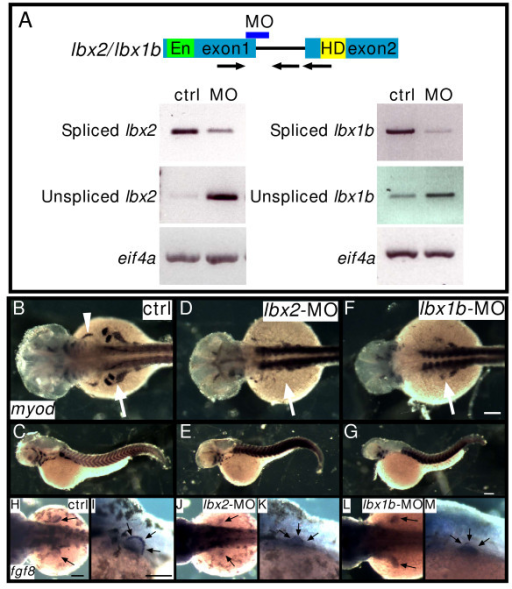 Lbx2 and Lbx1b function in hypaxial muscle development. A: Splice donor MOs against lbx2 or lbx1b inhibit correct splicing of lbx2 or lbx1b, respectively. RT-PCR was performed using bud stage (lbx2) or segmentation stage (lbx1b) embryos. Spliced bands and unspliced bands in the lbx-splice donor-MO lane indicate aberrantly spliced message increases and correctly spliced message decreases. Arrows indicate primers. En: Engrailed domain, HD: homeodomain. Arrows indicate specific primers for amplification of correctly spliced or unspliced lbx genes. B-G: Expression of myod in control (ctrl) embryos (B, C), lbx2-MO injected embryos (D, E). lbx1b-MO injected embryos (F, G). The white arrowhead indicates the sternohyoideus primordium (B) and the white arrows indicate fin muscle precursors. myod expression in fin bud is suppressed by lbx2-MO or lbx1b-MO (B: 100%, n = 36; D: 12%, n = 56; F: 16%, n = 24). H-M: Expression of fgf8 in ectodermal cells of the fin bud. Control embryos (H, I, 100%, n = 12), lbx2-MO injected embryos (J-K, 100%, n = 12), lbx1b-MO injected embryos (L-M, 100%, n = 15). (B, D, F, H, J, L) Dorsal views, rostral towards the left, (C, E, G. I, K, M) lateral views, rostral toward the left, dorsal toward the top. Scale bar: (B-M) 100 μm.
