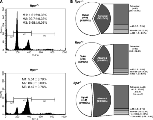 Increased DNA content in ITPA deficient primary MEFs. (A) Flow cytometric analysis of the cell cycle was performed and the sub G1 fraction (M1), diploid fraction (M2) and a fraction with an increased DNA content (M3) were determined. (B) ITPA deficiency increased chromosomal ploidy in primary MEFs. Percentages of diploid, tetraploid and others are shown in pie charts with the mean ± SD (three independent isolates). The frequency of tetraploidy was increased significantly in Itpa−/– MEFs. Results show non-repeated measures ANOVA (two-tailed): P = 0.094. P-value is shown following a Bonferroni post hoc test.