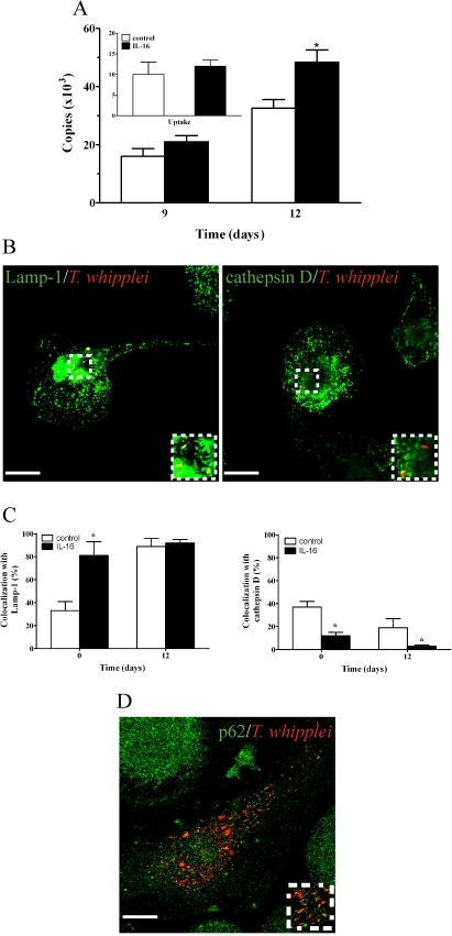 Effect of exogenous IL-16 on T. whipplei fate in macrophages.Macrophages were treated with rhIL-16 as described in Figure 3. (A) T. whipplei uptake (inset) and replication were determined by qPCR. The results are expressed as the mean ± SEM of four independent experiments performed in triplicate. (B) The intracellular localization of T. whipplei was analyzed by indirect immunofluorescence and laser scanning microscopy at day 12. Scale bars represent 5 µm. (C) The percentage of organisms that colocalized with Lamp-1 or cathepsin D, respectively, was determined. More than 300 phagosomes were examined per experimental condition, and the results are expressed as the mean ± SEM of four independent experiments. p<0.05. (D) The localization of organisms with p62, a specific marker for autophagosomes, was assessed by indirect immunofluorescence and laser scanning microscopy. More than 200 phagosomes were examined in two independent experiments.