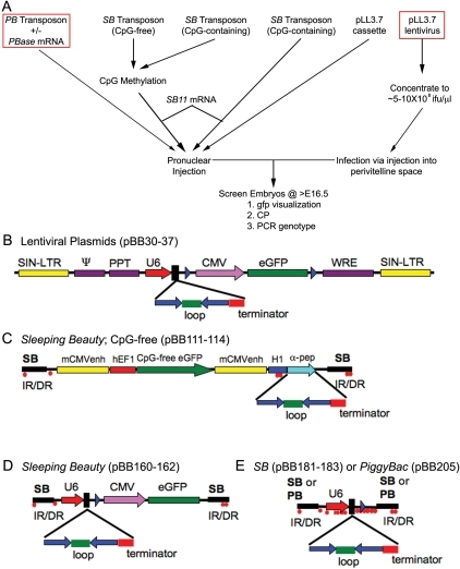 Pone-0014375-g003:A Transient Transgenic RNAi Strategy For