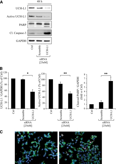 Downregulation of UCH-L1 by siRNA induces ER stress and apoptosis in INS 832/13 cells. A: INS 832/13 cells were transfected for 48 h with scramble or UCH-L1 siRNA (25 nmol/l). Levels of UCH-L1, PARP, and cleaved caspase-3 were analyzed by Western blot. Activity of UCH-L1 was assessed by active-site labeling of deubiquitinating enzymes. The preparations were incubated with HA-Ub-VS and probed with the anti-HA. Levels of GAPDH were shown as loading control. B: The graphs represent the quantification of UCH-L1 expression, UCH-L1 activity, and the cleaved form of PARP. Data are expressed as means ± SE (n = 3–4). *P < 0.05; **P < 0.01. C: INS 832/13 cells were transfected for 48 h with scramble (a) or UCH-L1 siRNA (25 nmol/l) (b). The detection of CHOP (arrows) was assessed by immunofluorescence (CHOP, red; insulin, green; nuclei, blue) (n = 3). (A high-quality digital representation of this figure is available in the online issue.)