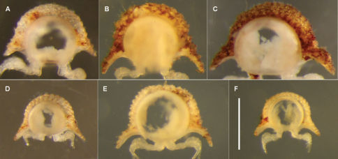 Anterior views of ring 6 (A–D, F) and ring 9 (E) of male Asphalidesmus spp., photographed at same scale; scale bar = 0.5 mm. A Atopodesmus allynensis sp. n., holotype, AM KS94167 B Atopodesmus dorrigensis sp. n., paratype, AM KS61085 C Atopodesmus otwayensis sp. n., paratype, ANIC 64-000207 D Atopodesmus bellendenkerensis sp. n., paratype, QM S90018 E Atopodesmus carbinensis sp. n., holotype, QM S90023 F Atopodesmus minor sp. n., paratype, ANIC 64-000205. (See Fig. 1 for comparable views of Atopodesmus leae Silvestri, 1910 and Atopodesmus magnus sp. n.)