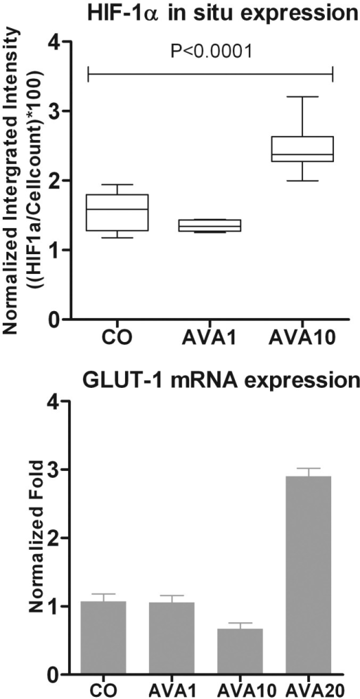 Involvement of HIF-1α in B16F10 cells after bevacizumab treatment under hypoxic conditions. Expression of HIF-1α was measured in B16F10 cells using an in-cell Western assay after cell exposure to hypoxic conditions for 24 h. Expression is demonstrated in normalized integrated intensity ((HIF-1α/cell count)*100). A significant induction of HIF-1α was observed when comparing the AVA10 treated cells with the control (p=0.03; top). qPCR analysis shows an induction of GLUT-1 expression in B16F10 cells treated with the high dose of bevacizumab (AVA20) in comparison to no treatment. Expression is demonstrated in normalized fold (bottom). AVA1=equivalent human dose: 1.25 mg/5.46 ml; AVA10=10 times the equivalent human dose: 12.5 mg/ 5.46 ml; AVA20=20 times the equivalent human dose: 25 mg/ 5.46 ml; CO=control group: culture medium.