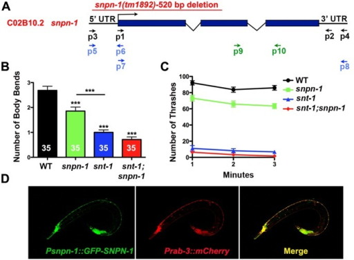 Neuronally expressed C. elegans Snapin and Synaptotagmin regulate locomotory behavior.(A) The Snapin (snpn-1) gene structure and location of the snpn-1(tm1892) deletion. (B) The mean ± SEM number of body bend reversals triggered by a single head tap were significantly reduced in snpn-1(tm1892), snt-1(md290) and the double mutants. (C) The mean ± SEM values for thrashing responses of snpn-1 mutants placed in solution show a modest decrease compared to snt-1 and snt-1;snpn-1 doubles mutants. It should be noted that subtle differences between snt-1 single and double mutants would be difficult to discern in this assay, given the already very low thrashing rates observed in snt-1 mutants. Significance values for all mutants are ≤0.0001 relative to wild-type. (D) Expression of GFP::SNPN-1 under the snpn-1 promoter co-localized with mCherry driven by the pannueronal pRab-3 promoter throughout the C. elegans nervous system.