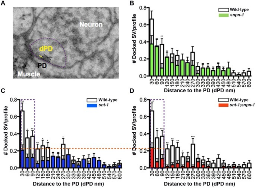 PD proximal vesicle docking deficits in snt-1 and snt-1;snpn-1 mutants correlate with their release defects.(A) The distance from docked synaptic vesicle (SV) membrane to the closest PD referred to as dPD, is used to plot the distribution of docked vesicles relative to the PD, in graphs (B-D). The extent of the vesicle docking defect (highlighted by the horizontal dashed line) within 90 nm of the PD (depicted as a vertical rectangular box on graphs) is similar in snt-1 (C) and snt-1;snpn-1 double mutants (D). All statistically significant values for dPD, plotted as mean and SEM for mutants when compared to the wild type are shown.