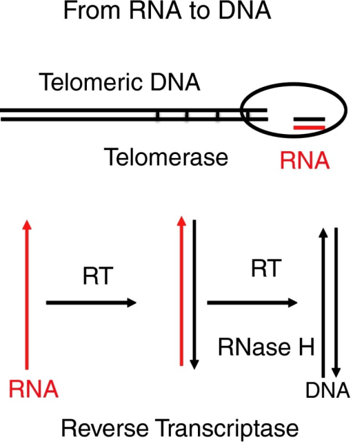 From RNA to DNA. (Top) This reaction is performed by the telomerase in every embryonic eukaryotic cell and in tumor cells at chromosomal ends. The telomerase is an RNP and copies a simple stretch of RNA into DNA up to 1000-fold. (Bottom) Reverse transcriptase (RT) copies RNA into an RNA-DNA hybrid and into a double-stranded DNA, supported by ribonuclease H (RNase H), which removes the RNA in RNA-DNA hybrids and RNA primers