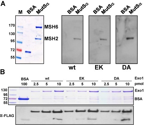 Wild-type EXO1 and its E109K and D173A variants interact directly with MSH2 and CtIP. (A) Far-western blot showing a direct interaction between EXO1 and MSH2. The MSH2/MSH6 (MutSα) heterodimer was separated by SDS-PAGE (left panel) and the MSH6 and MSH2 subunits were transferred onto a membrane, which was subsequently incubated with the recombinant EXO1 variants (right panels). Hybridization with an anti-EXO1 antibody revealed specific interactions of the variants with the MSH2 subunit of MutSα. BSA was run on the SDS-PAGE gel and used as a negative control for interaction with EXO1. M, pre-stained molecular size marker. (B) Far-western blot showing a direct interaction between EXO1 and CtIP. EXO1 wild-type and mutants were separated by SDS-PAGE (Coomassie staining top panel), transferred onto a membrane and incubated with recombinant FLAG-tagged CtIP. The interaction was revealed upon hybridization of the membrane with anti-FLAG to detect CtIP (bottom panel). M, pre-stained molecular size marker.