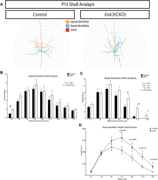 Quantification of dendritic branching at P15 in control and Gsk3-deleted neurons.(A) Representitive images of control and Gsk3-deleted neurons used for Sholl analysis with specific processes pseudocolored for identification. (B) Apical dendrite Sholl analysis of Gsk3-deleted neurons shows significantly increased branching close to the soma. p=0.034. Additionally, Gsk3-deleted neurons display a trend toward increased branching in areas further from the soma. (C) Basal dendrite Sholl analysis of Gsk3-deleted neurons shows significantly increased branching in basal dendrites in areas furthest away from the soma (p=0.015). (D) Basal dendrite sholl analysis of dendritic lengths reveals altered morphology of Gsk3-deleted neurons. Gsk3-deleted neurons have increased lengths of basal dendrites in areas beginning 75 μm away from the soma. p=0.023, p=0.0118, and p=0.0202.DOI:http://dx.doi.org/10.7554/eLife.02663.014