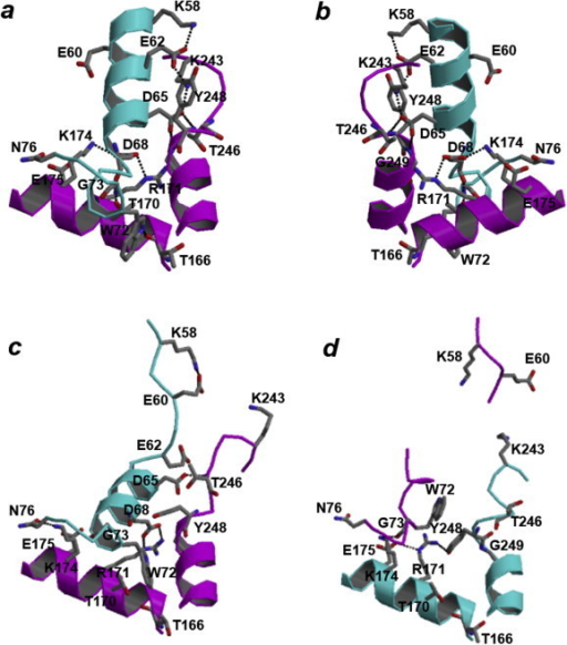 Inter-subunit interactions around the Arg171 residue found in the Ec. mundtii LDH-2. The structures around the Arg171 residue of subunit A in the active state and of subunits A and B in the inactive state are shown in a, c, and d, respectively. Ribbon models of subunits A and B are shown in magenta and cyan, respectively. The residues Lys58, Glu60, Glu62, Asp65, Asp68, Trp72, Gly73, and Asn76 in one subunit and Thr166, Thr170, Arg171, Lys174, Glu175, Lys243, Thr246, Tyr248, and Gly249 in the other subunit are shown in the stick model. Hydrogen bonds are shown by broken lines. View directions are opposite in a and b.